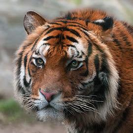 by Walter Ciceri - Animals Lions, Tigers & Big Cats