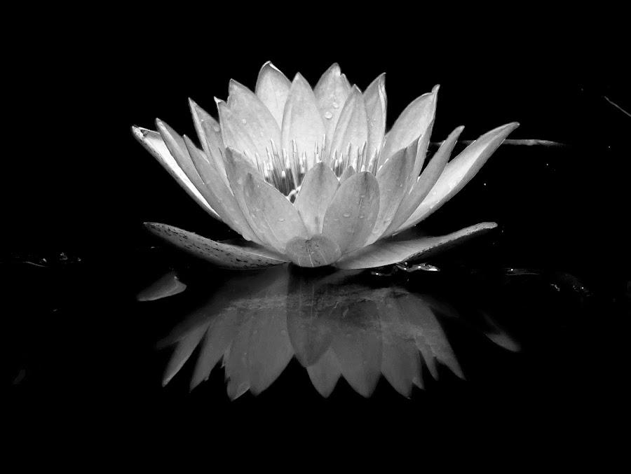 Waterlily  by Asif Bora - Black & White Flowers & Plants (  )