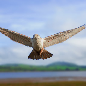 ferruginous hawk by Alex Sam - Animals Birds ( ferruginous hawk )