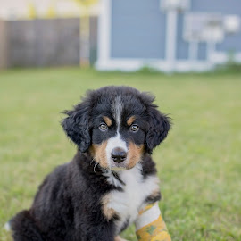 My puppy by Marissa Frederick - Animals - Dogs Puppies ( bernese mountain dog, puppy, dog, evening, outside )