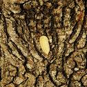 Asp Caterpillar