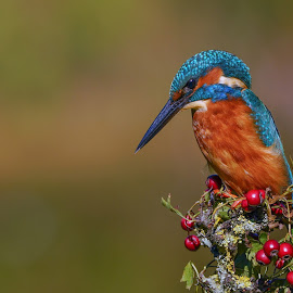 Male Kingfisher by Tim Clifton - Animals Birds ( nature, bird photography, bird shots, bird, nature up close, birds, kingfisher, wildlife )