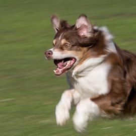 Running by Waldemar Dorhoi - Animals - Dogs Running