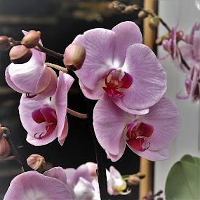 Orchids by Mary Gallo - Flowers Flower Gardens ( orchids, flowers,  )