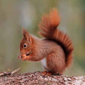 Red Squirrel by Tom Langlands - Animals Other Mammals ( red squirrel sciurus vulgaris scottish scotland nature wildlife animal mammal hazelnut )