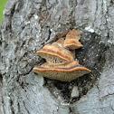 Oak mazegill
