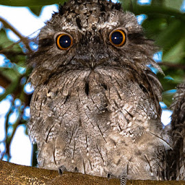 Baby Tawny Frogmouth by Sarah Sullivan - Novices Only Wildlife