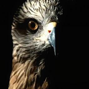 Falcon in Majorca / Mallorca by Peter Wabbel - Animals Birds ( bird, color, masterofthemoment, masai mara, kenia, africa, palma de mallorca, spain )