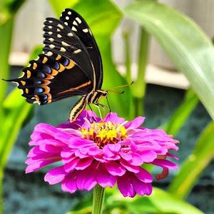 2011 Butterflies 020_fhdr.jpg