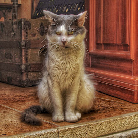Door Kitty by Mandy Hedley - Animals - Cats Portraits ( cat, pet, street, croatia, door, step )
