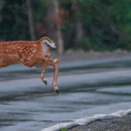 Out of Here by Susan Hill - Animals Other ( fawn, road, jump, deer )
