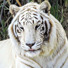 Big Cats by Michael Pruitt - Animals - Cats Portraits ( wild, tiger, arizona, safari, sedona )