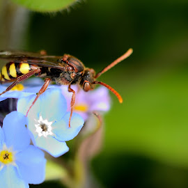 Wasp Fly by Kim White - Novices Only Macro ( wasp, waspfly, wildlife, insect, spring, forgetmenot, hoverfly, macro, season, nature, blue, fly, stamen, flower, animal, petal )