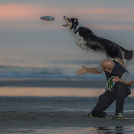 Dogfrisbee at sundown by Ruud Lauritsen - Animals - Dogs Playing ( dogfrisbee, dog playing, dog in action, dagfrisbee at sundown, dogs can fly )