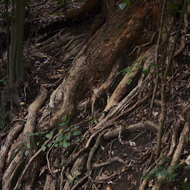 tangled grip by Rachel Urlich - Nature Up Close Sand ( nature, tangled, roots, bank, forest, earth, gripping )