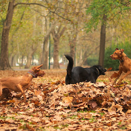 playing by Ditte Foto - Animals - Dogs Playing ( playing, dogs, autumn, bark, animal )
