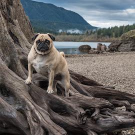 Rattlesnake Lake 4 by Jennifer Wollman - Animals - Dogs Portraits ( animals, pet photography, dogs, dog photography, pugs, dog portraits, dog )