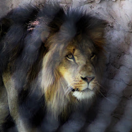 Face  by Anna Tripodi - Animals Lions, Tigers & Big Cats ( face, beautiful, love this shot, animal, eyes )