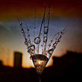 Golden Seed In The Sunset by Marija Jilek - Nature Up Close Natural Waterdrops