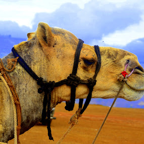 by Neha Neekhra - Animals Other Mammals ( clouds, hills, camel, red, blue, misty )