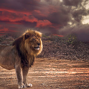 by Martin Hurwitz - Animals Lions, Tigers & Big Cats