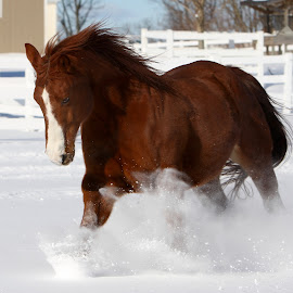 Snow Play by Mike Craig - Animals Horses