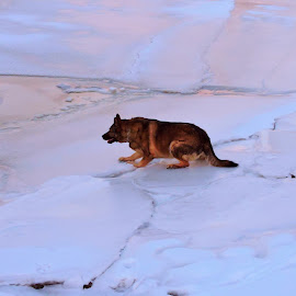 Holly on Ice by Stephanie Kendall - Animals - Dogs Playing ( animals, dogs, ice, snow, pets, german shepherd, dog,  )