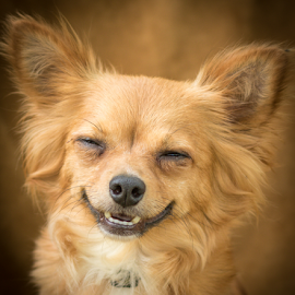 Cheezy Smile by Myra Brizendine Wilson - Animals - Dogs Portraits ( canine, pet, brown dog, smile, dog,  )