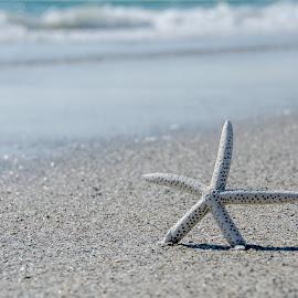 by Beth Thomander - Landscapes Beaches ( water, sand, starfish, ocean, beach, surf, sun )
