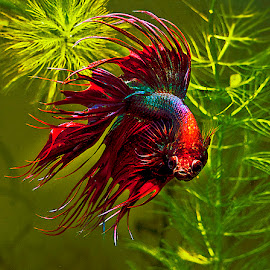 Siamese fighting fish by David Winchester - Animals Fish (  )