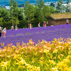 Lavender farm @ Furano by Vorravut Thanareukchai - Landscapes Prairies, Meadows & Fields ( farm, japan, lavendor, furano, hokkaido )