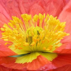 Poppy 9893 by Raphael RaCcoon - Flowers Single Flower