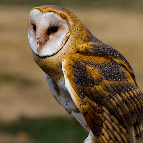 Barn Owl by Nigel Bullers - Animals Birds ( bird, flight, barn, owl, feather )