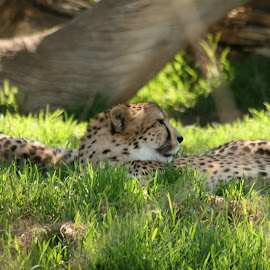 Resting Cheetah by DeeMan Williams - Novices Only Wildlife ( cheetah, animals, wildlife )