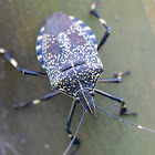 Yellow-spotted Stink Bug