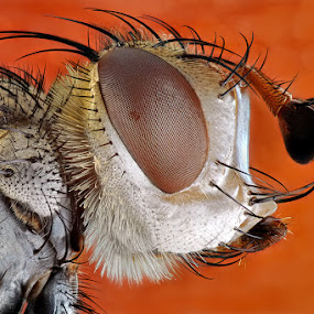 Tachinid Fly by Donald Jusa - Animals Insects & Spiders ( macro, micro, bugs, fly, indonesia, insects, nikon, flies )
