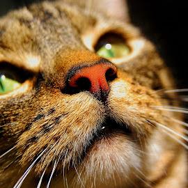 Bonbon by Paul William - Animals - Cats Portraits ( cat, tabby cat, pet, feline, animal )