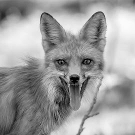 Black and White Fox by Debbie Quick - Black & White Animals ( debbie quick, nature, nature lovers, nature up close, debs creative images, cute, fox, national geographic, wildlife photography, red fox, animal photography, animal, black and white, dutchess county, wild, hudson valley, nature photography, furry, wildlife )
