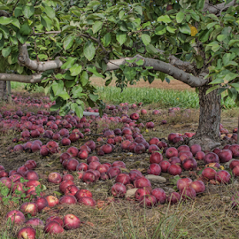 Apples Galore by Gwen Paton - Food & Drink Fruits & Vegetables ( apples on ground, fruit, connecticut, apple, fall, orchard, apples,  )