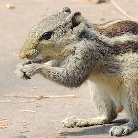 THE SQUIRREL by Malay Maity - Animals Other Mammals ( potrait, sitting, eating, mammal, squirrel, animal,  )
