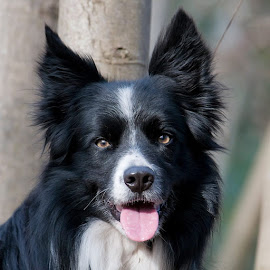 Brac by Sally Turner - Animals - Dogs Portraits ( canine, border collie, dog, black )