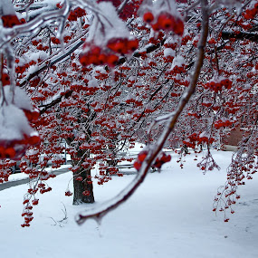University of Rochester by Jennifer Tsang - Nature Up Close Trees & Bushes ( winter, tree, ice, snow, university of rochester, frozen, berries, red, white, pwc87 )