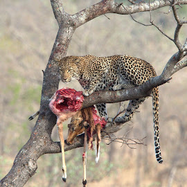 A day in the life of a Leopard by Romano Volker - Animals Lions, Tigers & Big Cats