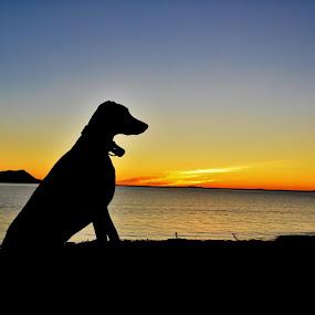 Doberman in sunset by Mari-Anne Jacobsen - Landscapes Sunsets & Sunrises