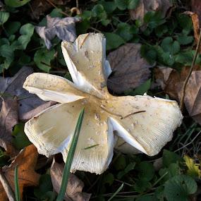 Split Mushroom by Barbara Storey - Nature Up Close Mushrooms & Fungi ( mushroom, wild, fungi, nature, autumn, leaves,  )