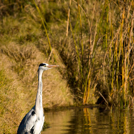 Grey Heron by Graham Traas - Animals Birds ( wild bird, reedbed, south africa, grey heron, rietvlei, heron )