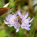 Oedemera flower beetle