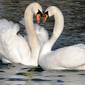 swan love by Dubravka Bednaršek - Uncategorized All Uncategorized (  )