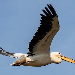 PELICAN by Jaysinh Parmar - Animals Birds