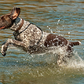 leaps and bounds by Kevin Towler - Animals - Dogs Running ( water, dog portrait, brown, beach, dog, running, domestic, animal )